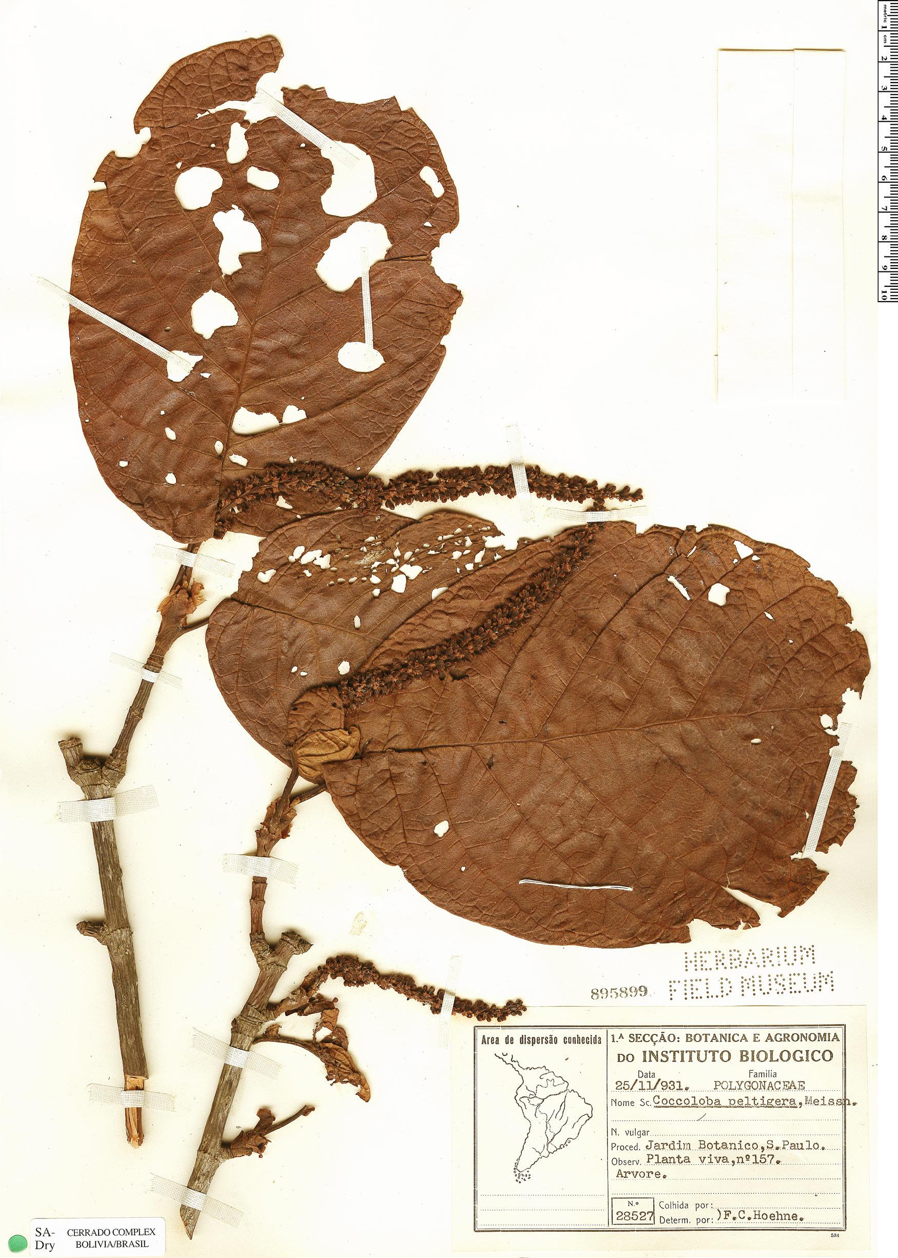 Specimen: Coccoloba alnifolia