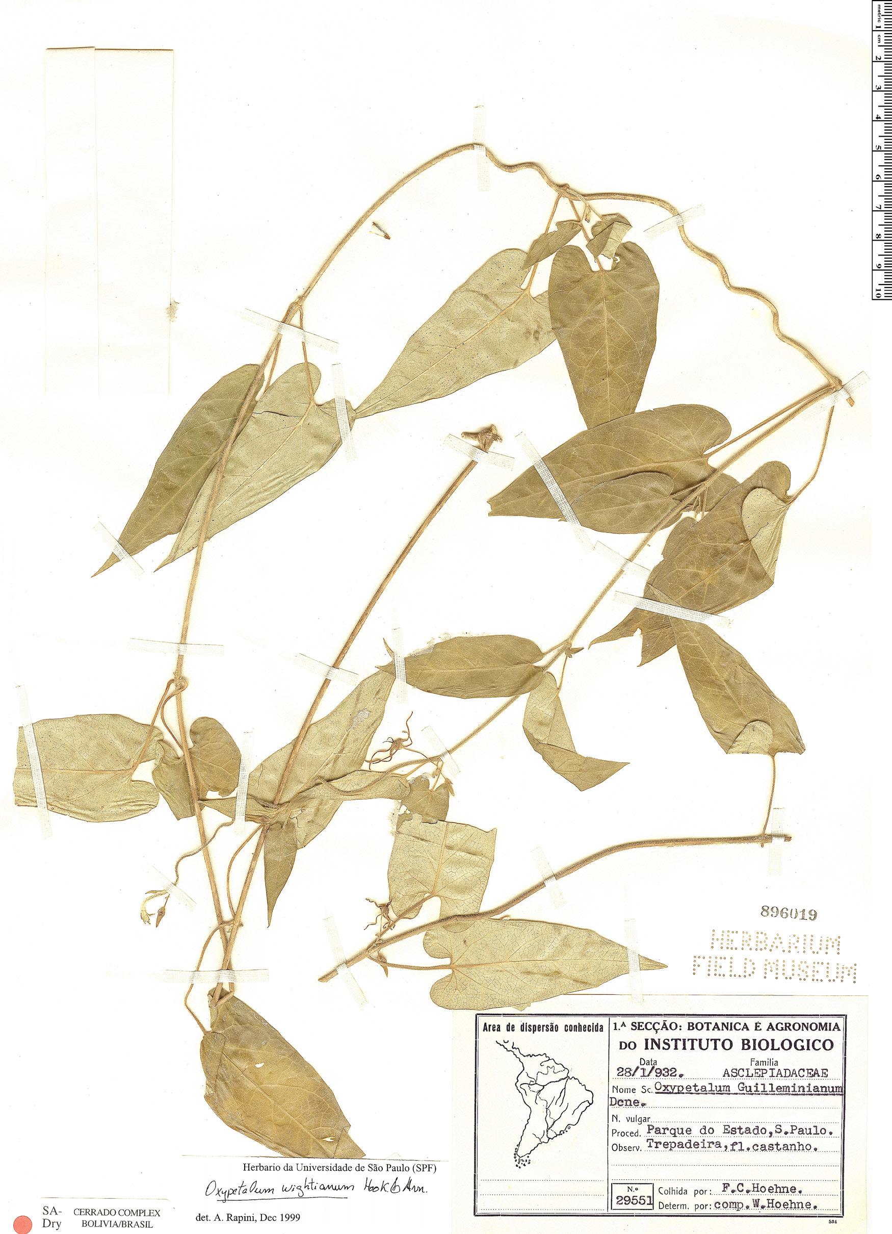 Specimen: Oxypetalum wightianum