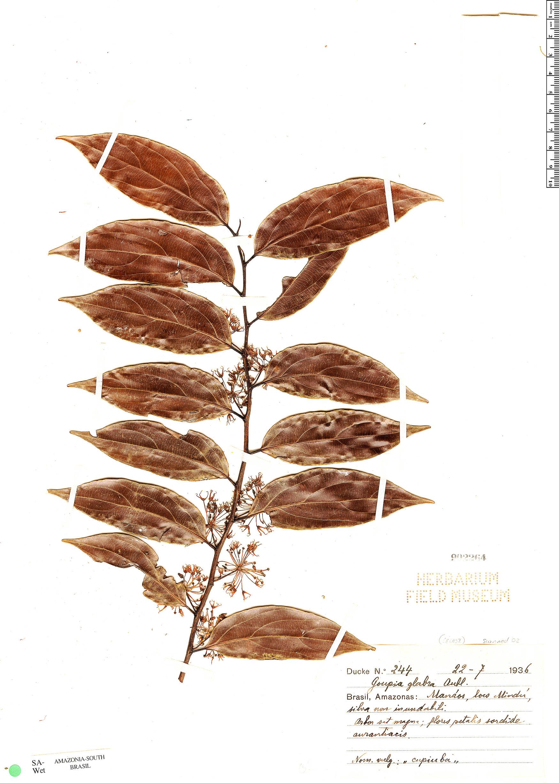 Specimen: Goupia glabra