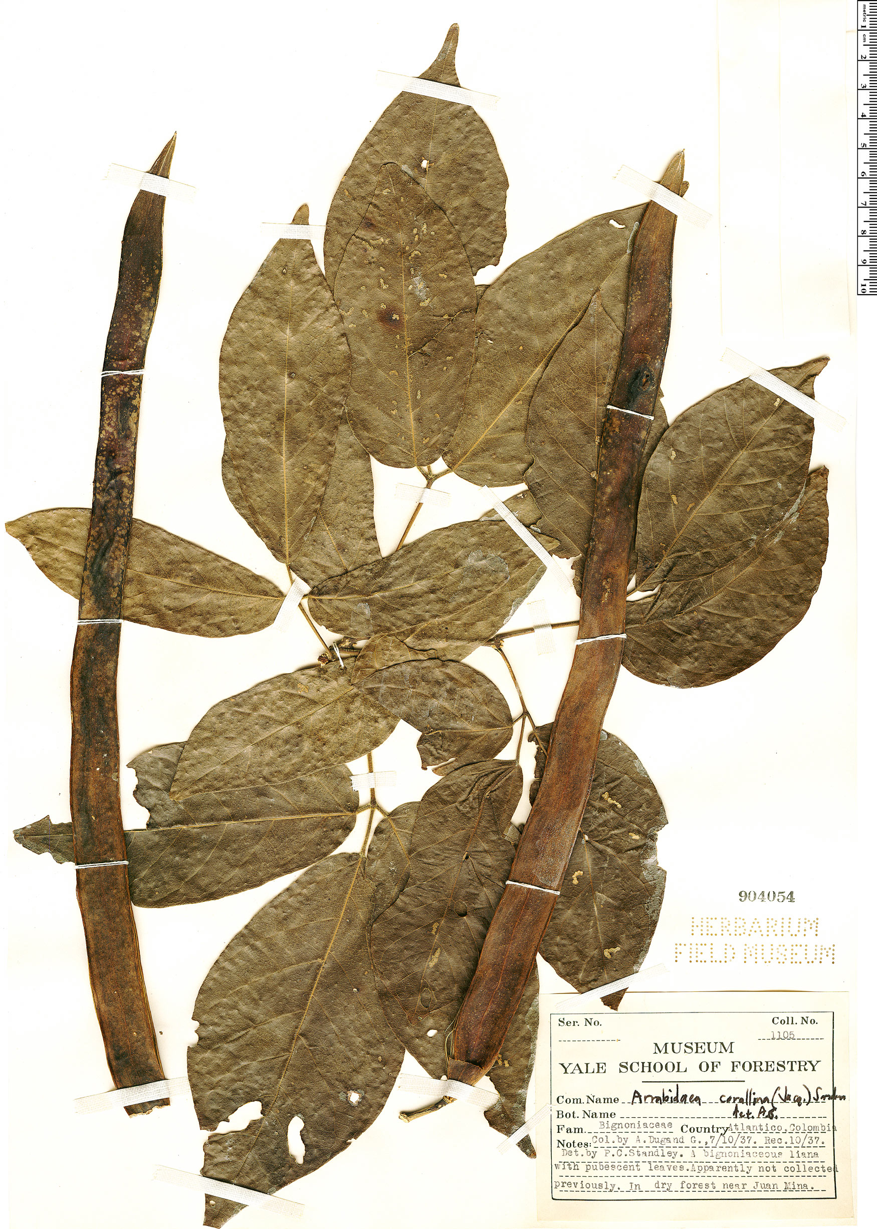 Specimen: Fridericia dichotoma