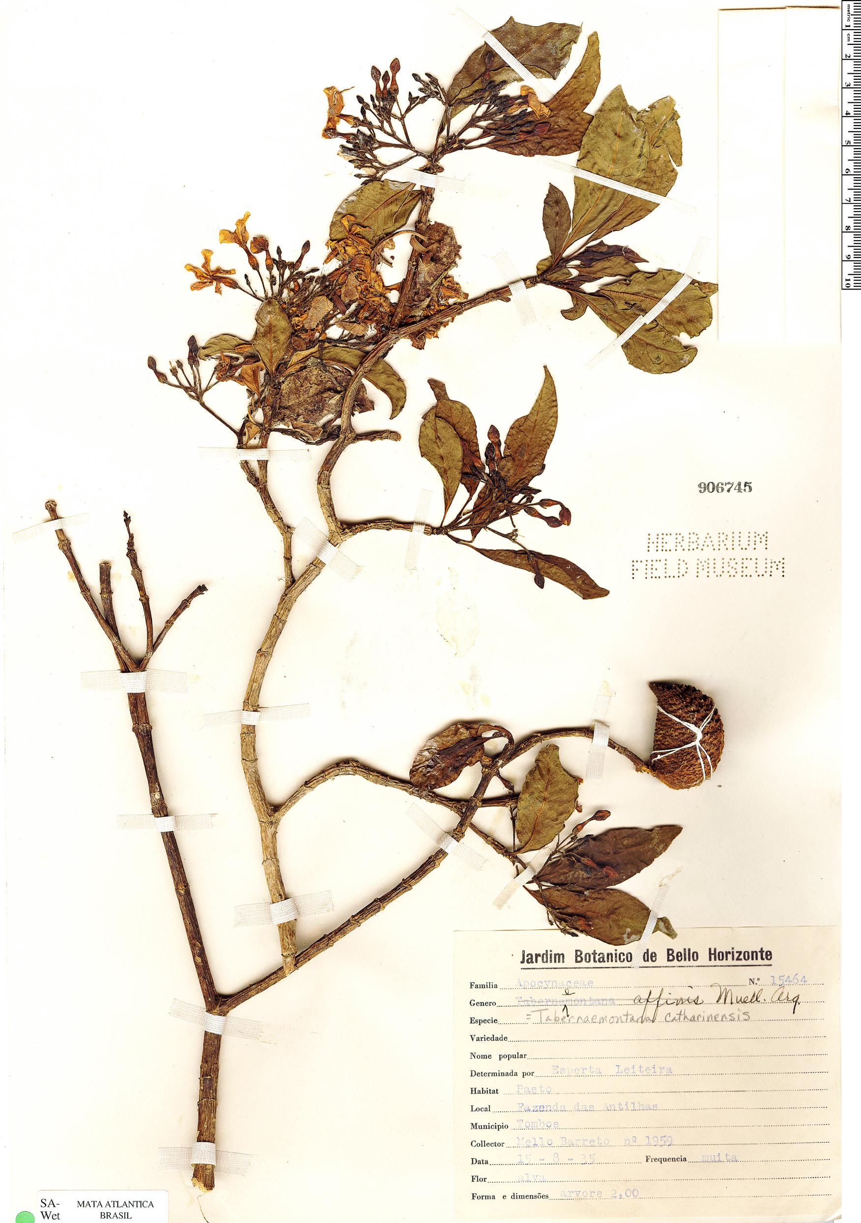Specimen: Tabernaemontana catharinensis
