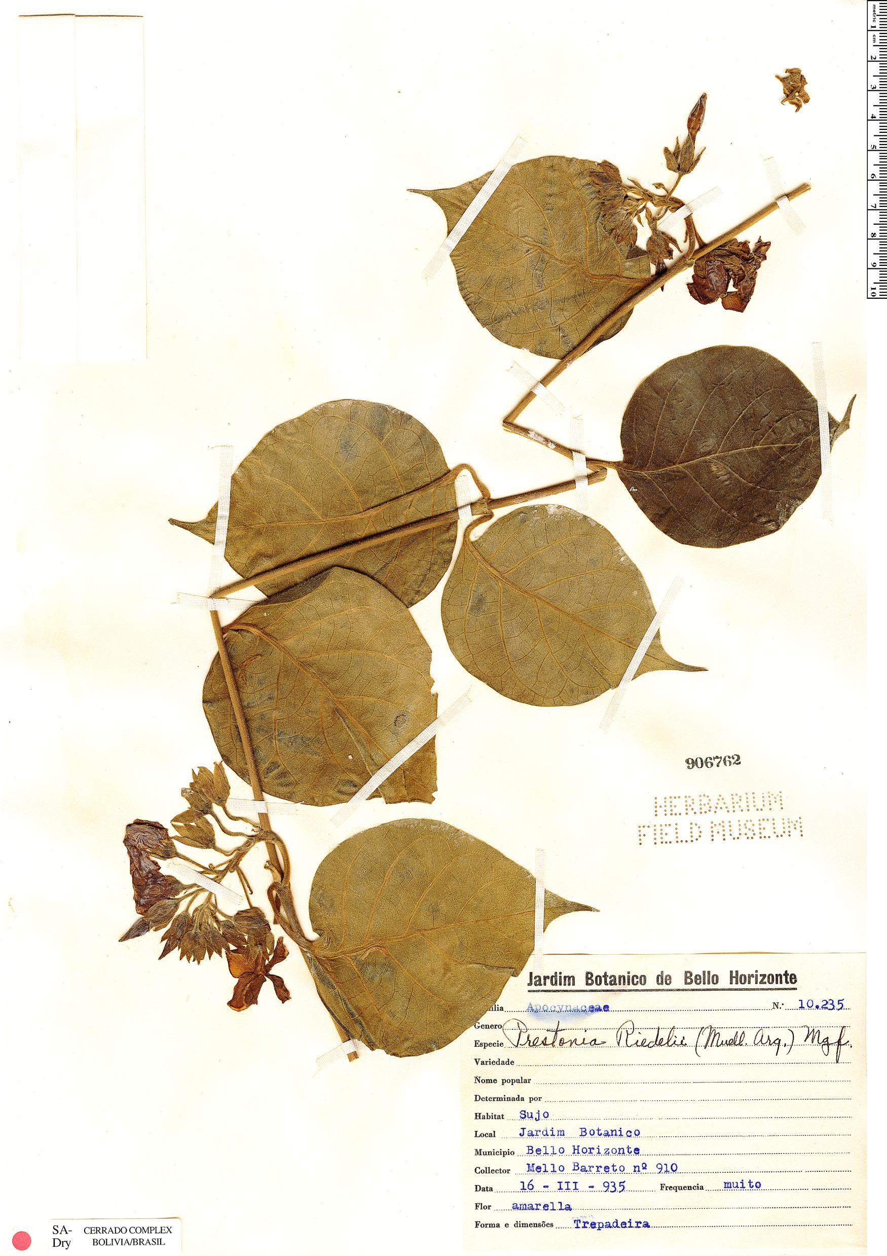 Specimen: Prestonia riedelii