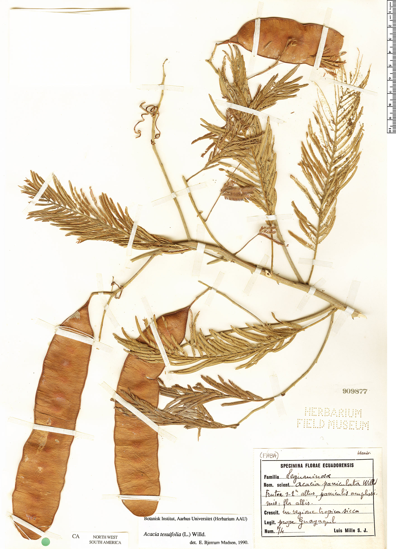 Specimen: Senegalia tenuifolia