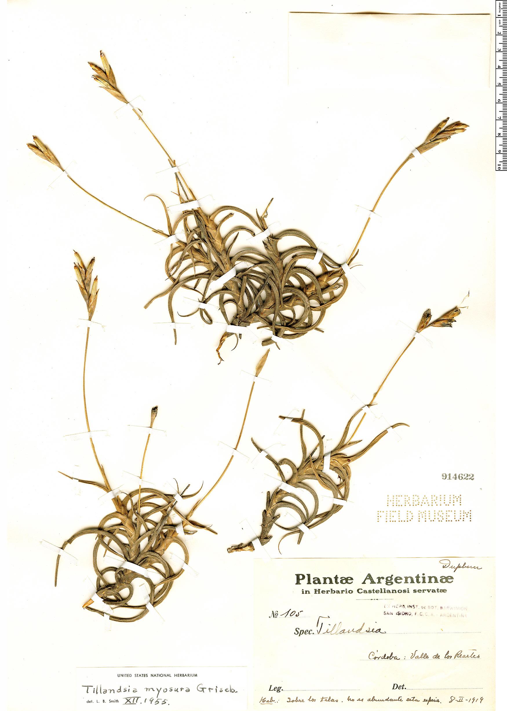 Specimen: Tillandsia myosura