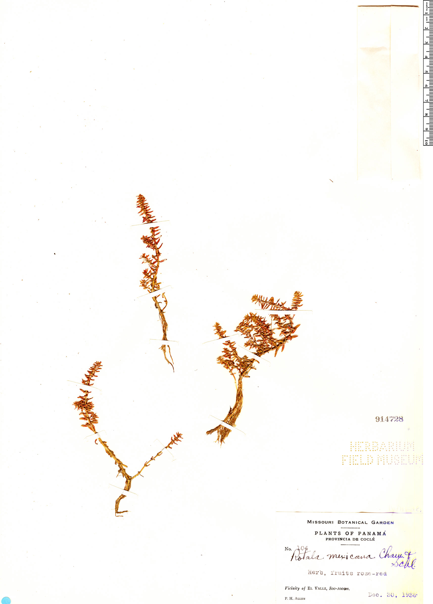 Specimen: Rotala mexicana