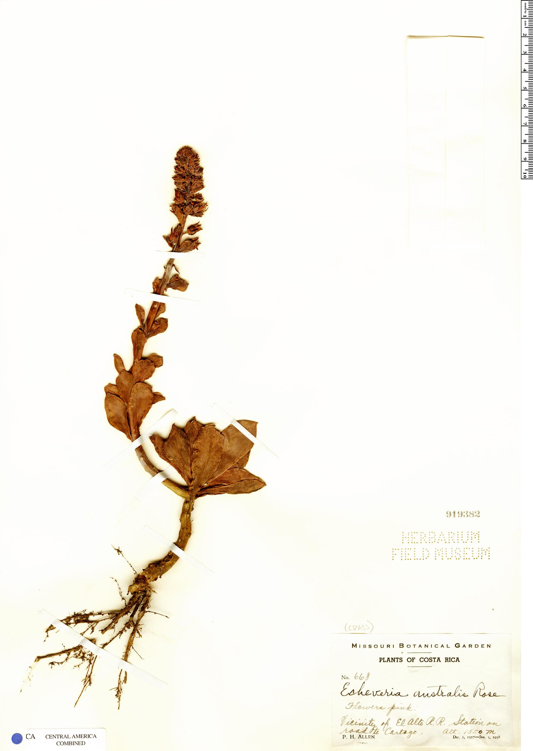 Specimen: Echeveria australis