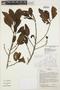 Ficus trigona L. f., BOLIVIA, I. G. Vargas C. 2606, F