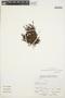 Crassula aff. peduncularis (Sm.) F. Meigen, Peru, A. Sagástegui A. 14013, F