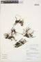 Crassula venezuelensis (Steyerm.) M. Bywater & Wickens, Peru, I. M. Sánchez Vega 7176, F