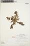 Echeveria chiclensis (Ball) Berger, PERU, S. R. King 296, F