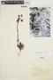 Echeveria chiclensis (Ball) Berger, PERU, P2232, F