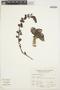 Echeveria oreophila Kimnach, Peru, A. Sagástegui A. 11999, F