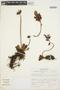 Echeveria peruviana Meyen, Peru, S. Leiva G. 156, F