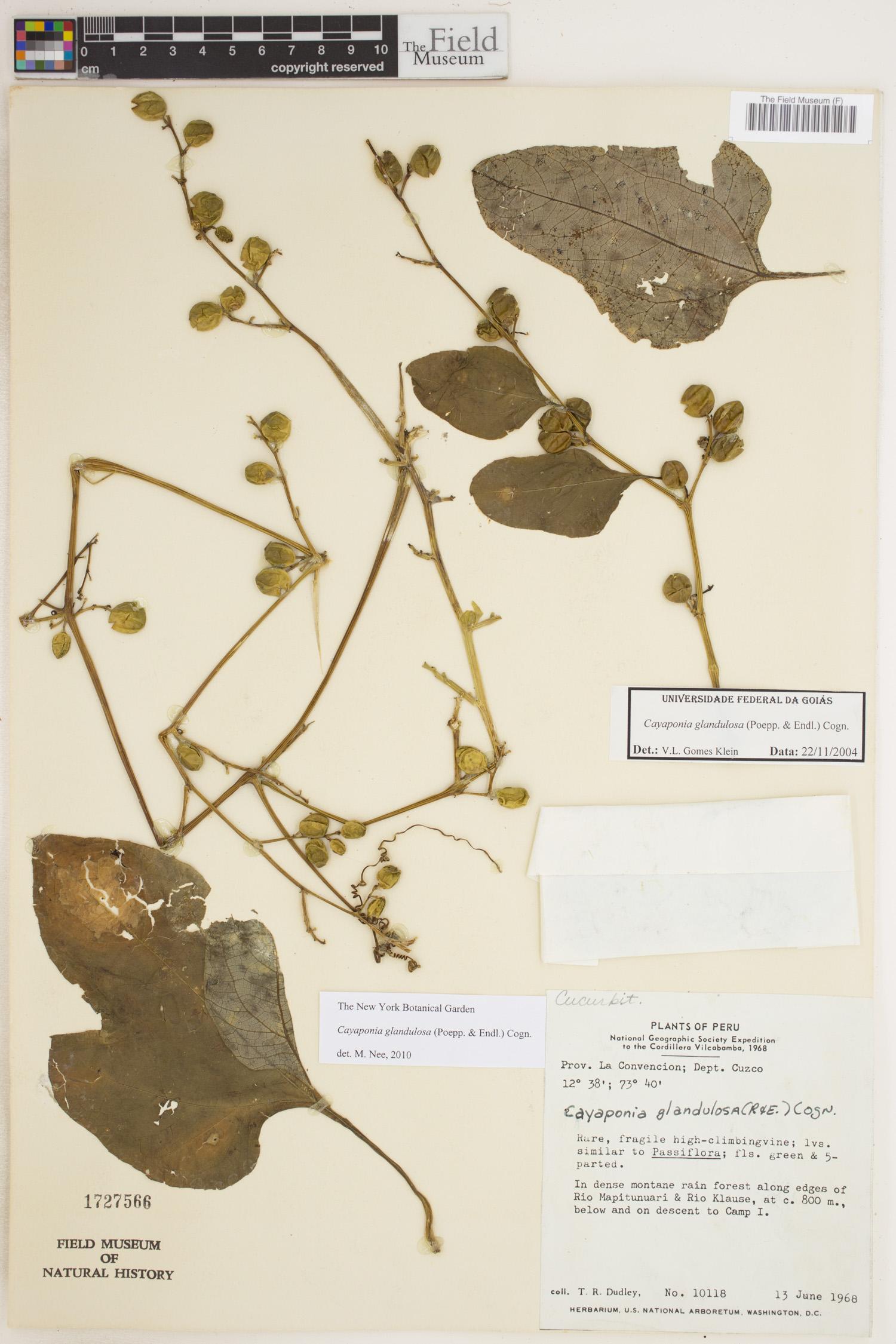 Cayaponia glandulosa image
