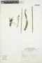 Kalanchoe tubiflora Raym.-Hamet, PERU, L. van der Hoogte 1464, F