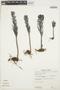 Kalanchoe tubiflora Raym.-Hamet, PERU, E. Wade Davis 669, F