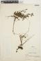 Villadia imbricata (Diels) Baehni & J. F. Macbr., PERU, A. Weberbauer 6877, F