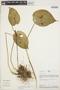 Pleurothallis cordata (Ruíz & Pav.) Lindl., Peru, R. B. Foster 9097, F