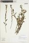 Sida rhombifolia L., GUYANA, K. M. Redden 4274, F
