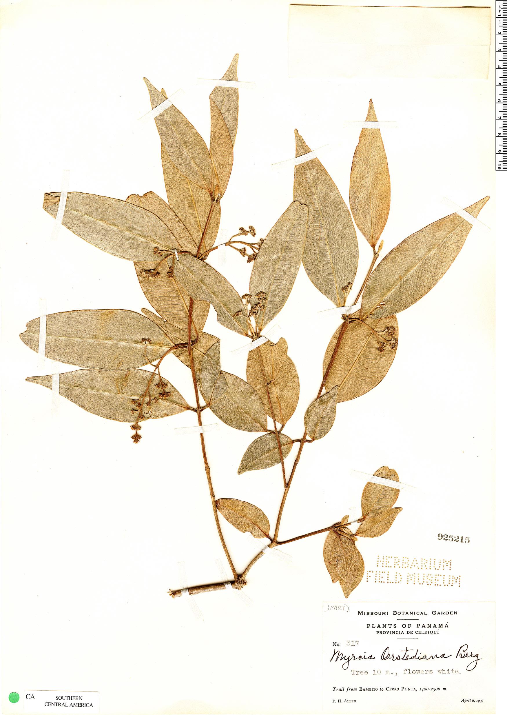 Espécimen: Myrcia splendens