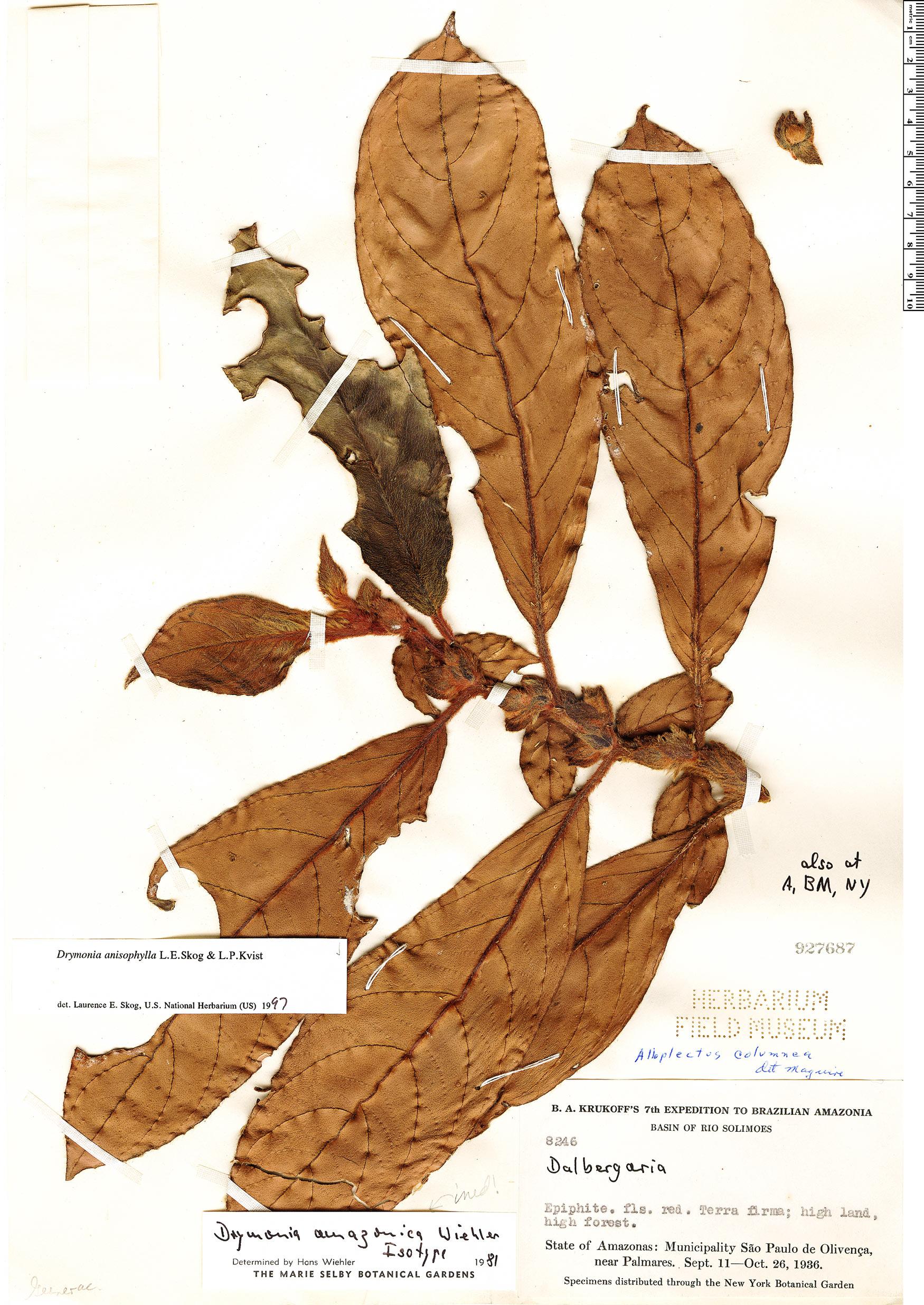 Espécimen: Drymonia anisophylla