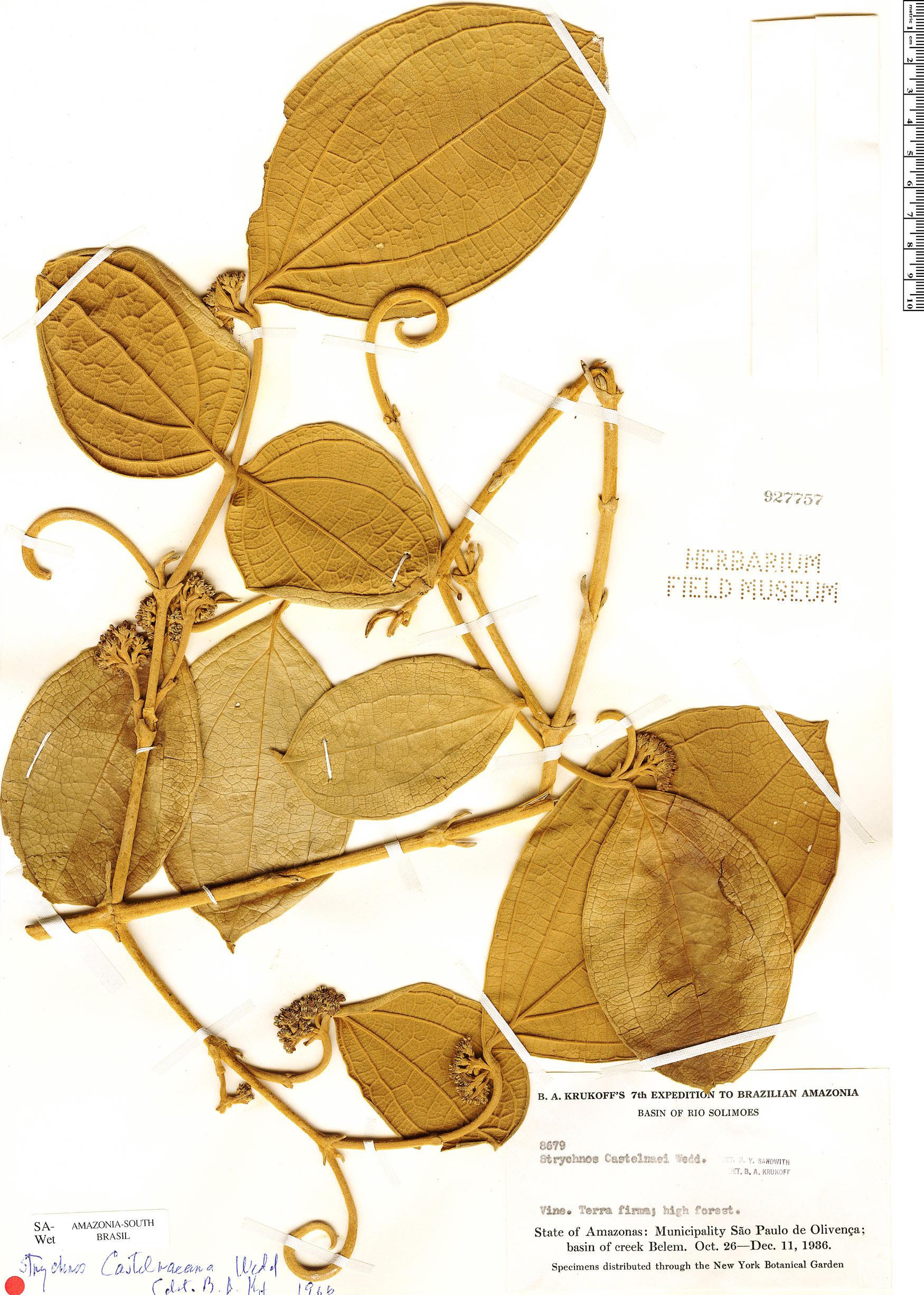 Specimen: Strychnos castelnaeana