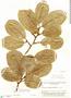 Couratari guianensis Aubl., Brazil, B. A. Krukoff 9020, F