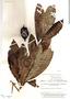 Kutchubaea semisericea Ducke, Brazil, B. A. Krukoff 8960, F