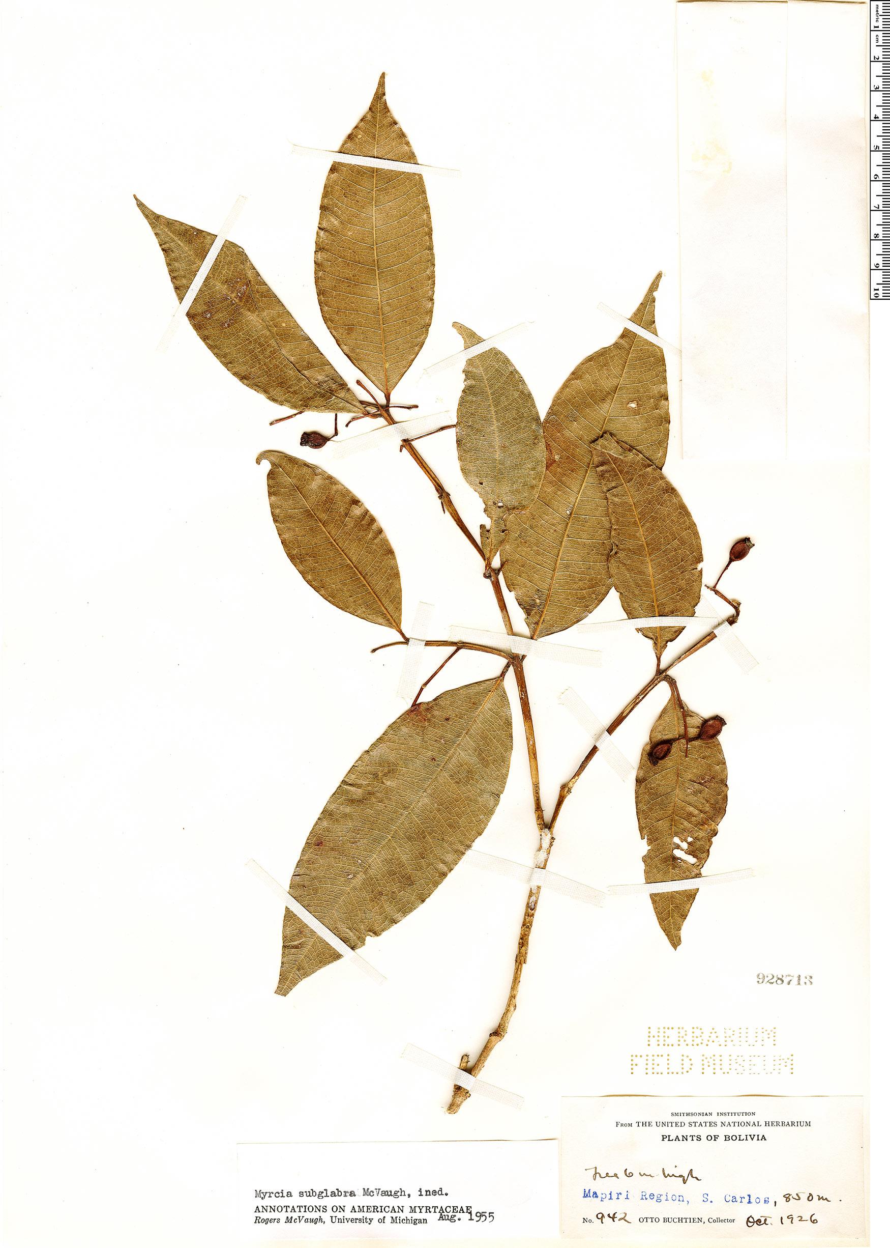 Specimen: Myrcia subglabra