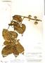 Diplopterys cabrerana (Cuatrec.) B. Gates, Brazil, B. A. Krukoff 8971, F
