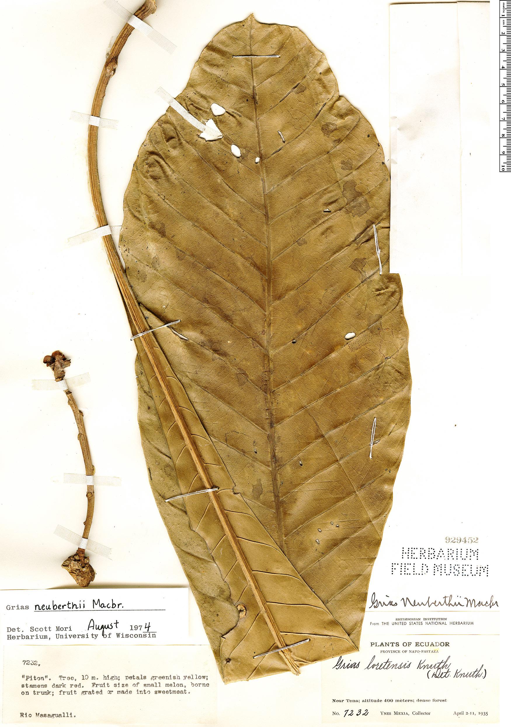 Espécimen: Grias neuberthii