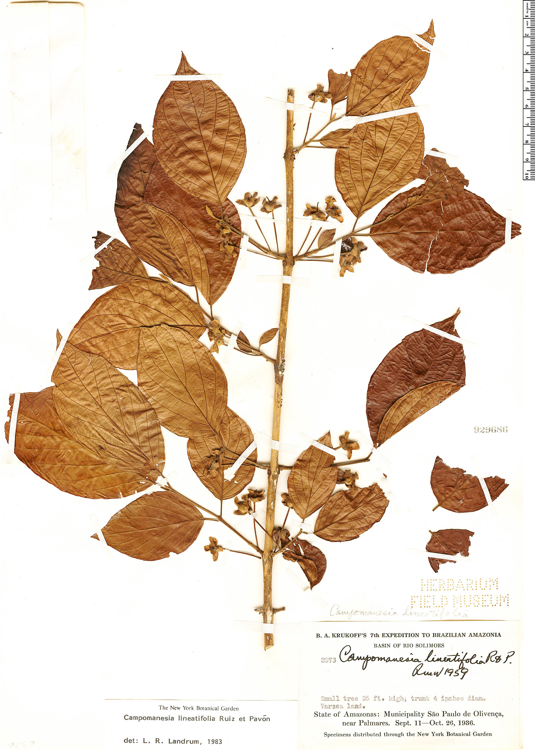 Specimen: Campomanesia lineatifolia