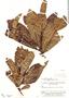 Kutchubaea semisericea Ducke, Brazil, B. A. Krukoff 8372, F
