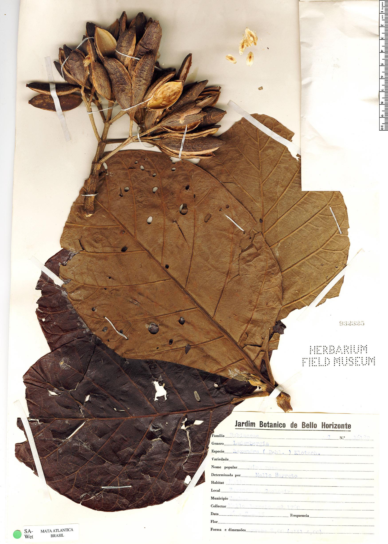 Specimen: Ladenbergia hexandra