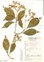 Cornus peruviana J. F. Macbr., Peru, C. Vargas 763, F