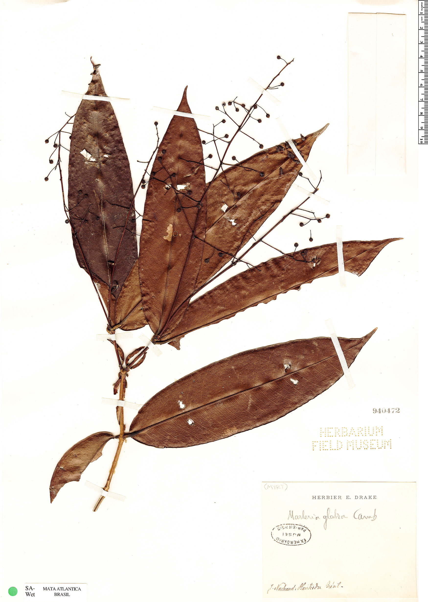 Specimen: Marlierea glabra