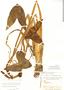 Sagittaria sprucei image