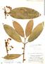Garcinia macrophylla Mart., Guatemala, C. Wilson 346, F