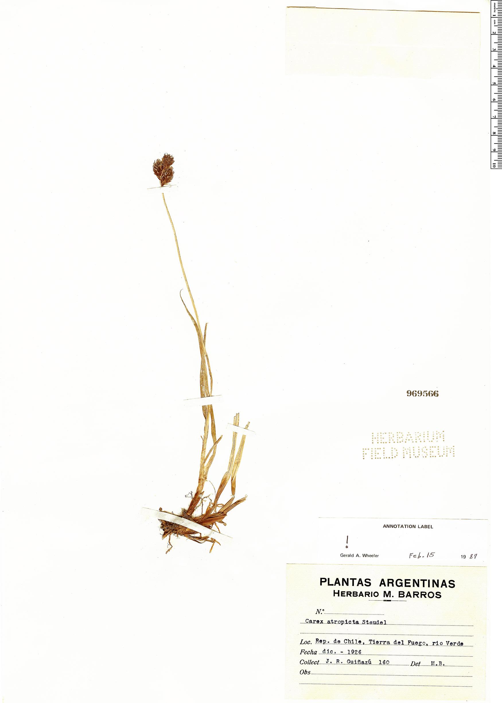 Carex atropicta image