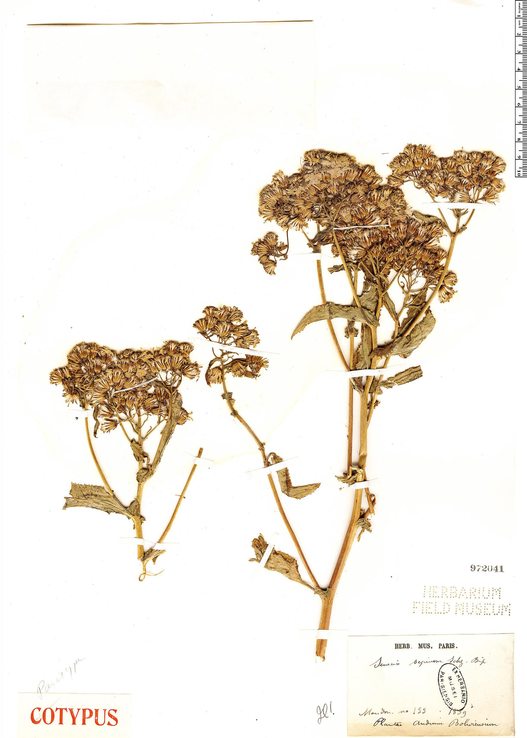 Specimen: Senecio sepium