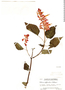 Salvia splendens Sellow ex Wied-Neuw., Guatemala, P. C. Standley 63057, F