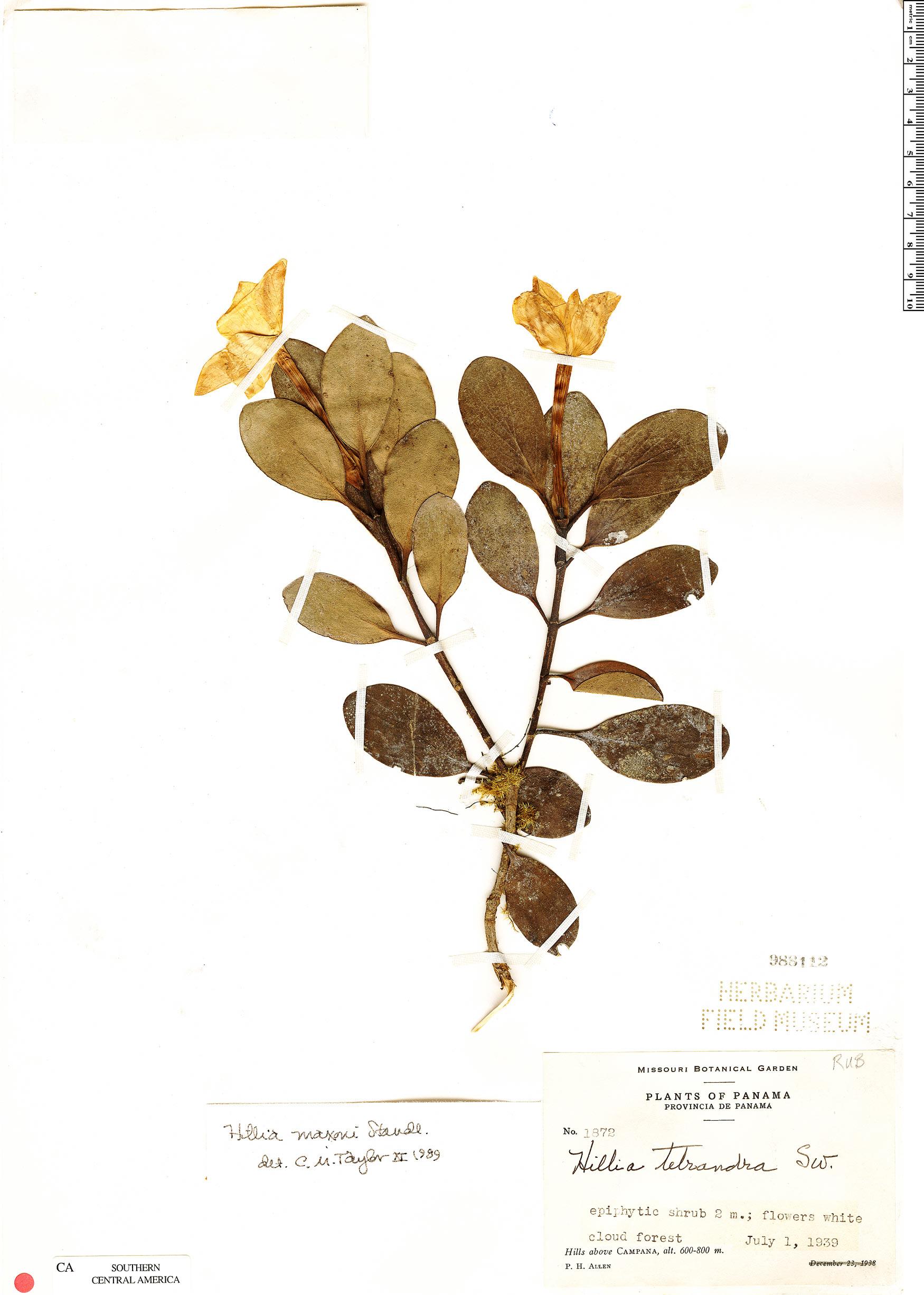 Specimen: Hillia maxonii