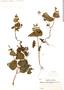 Salvia rhombifolia Ruíz & Pav., PERU, J. J. Soukup 1282, F