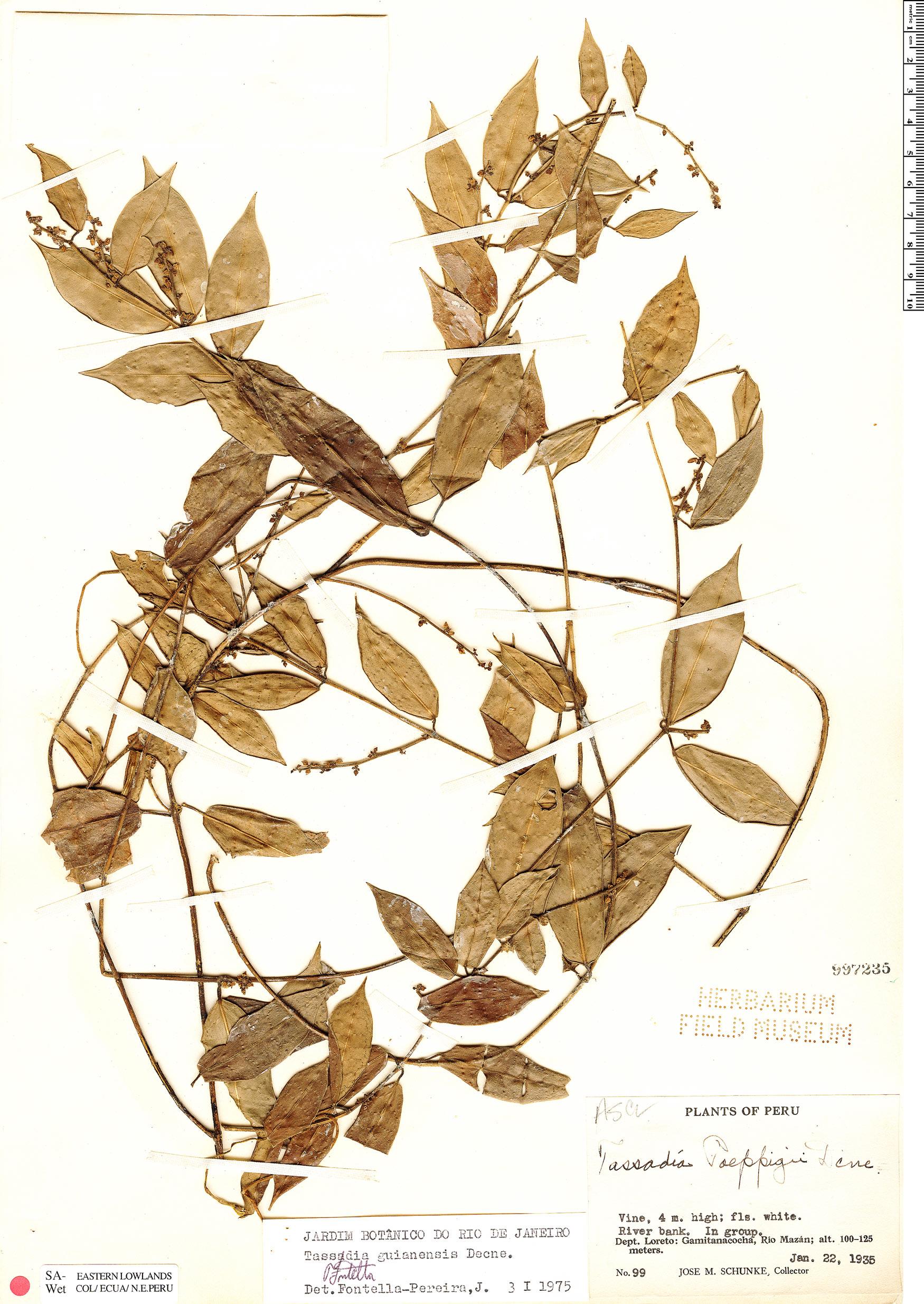 Specimen: Tassadia guianensis