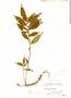Triolena obliqua (Triana) Wurdack, Ecuador, A. F. Skutch 4555, F