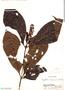 Psychotria tessmannii Standl., Peru, J. Schunke Vigo 260, F