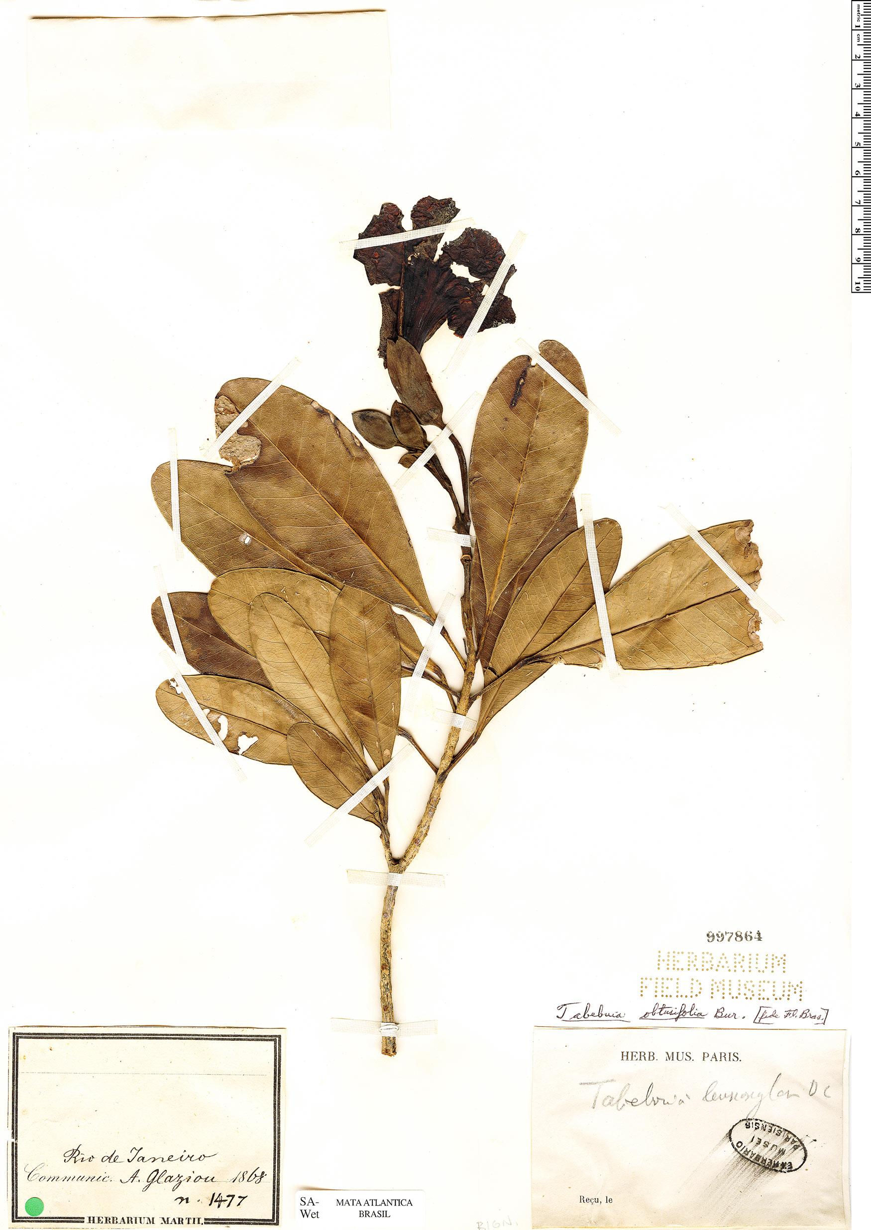 Specimen: Tabebuia obtusifolia