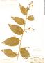 Cestrum strigilatum, PERU, J. Dombey s.n., F