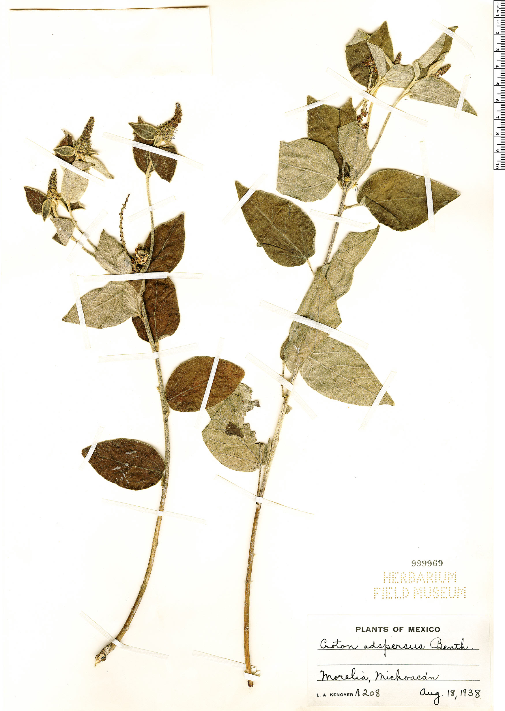 Espécimen: Croton adspersus