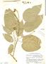 Croton billbergianus Müll. Arg., Belize, P. H. Gentle 2979, F